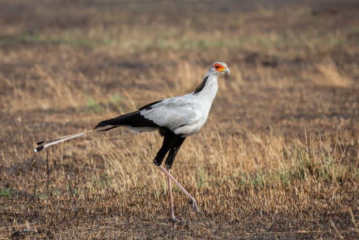 oiseau secrétaire masai mara