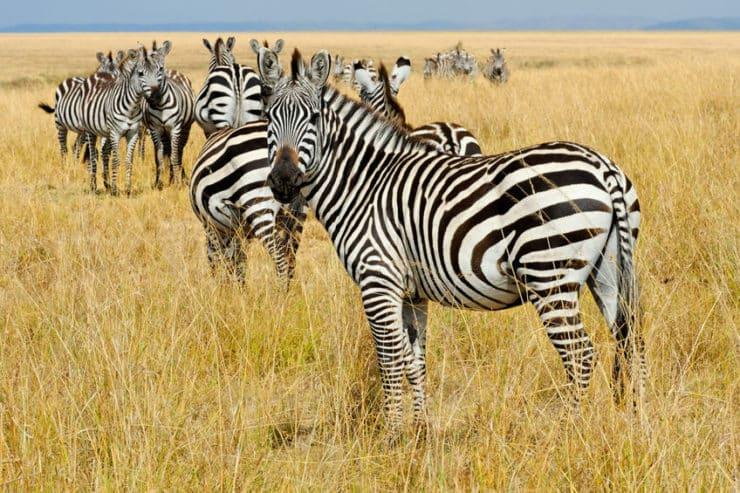 masai mara zèbres