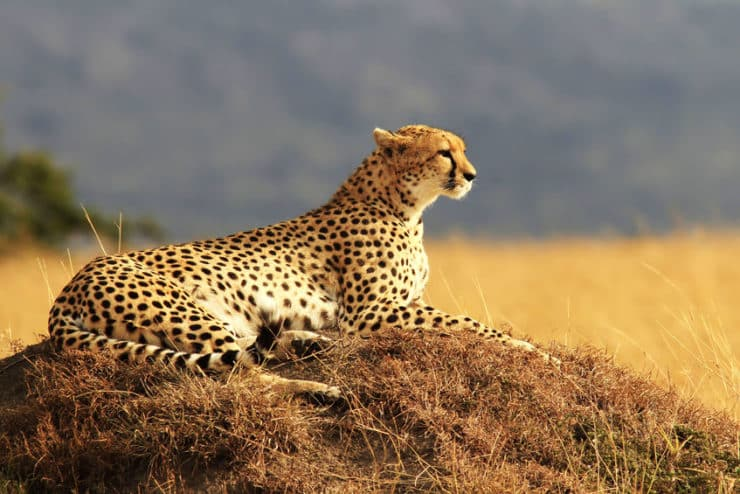 masai mara guépard