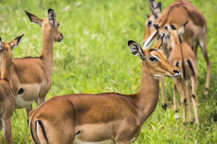masai mara impala