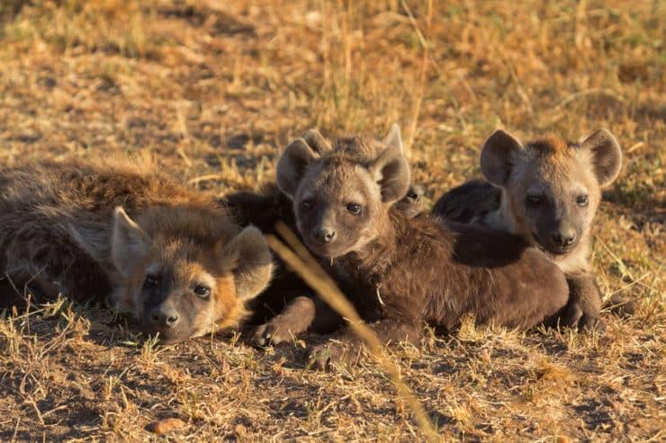 masai mara hyènes