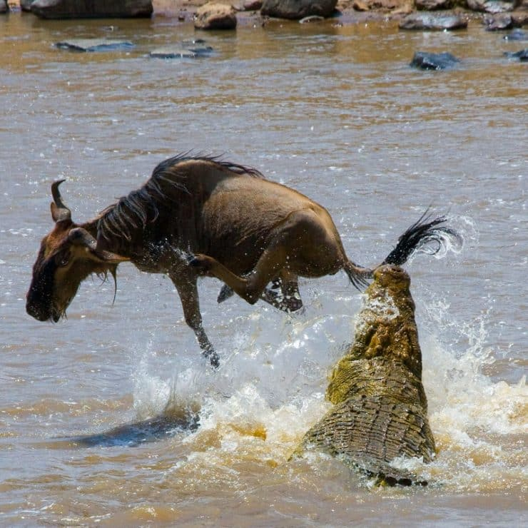 gnou crocodile rivière mara
