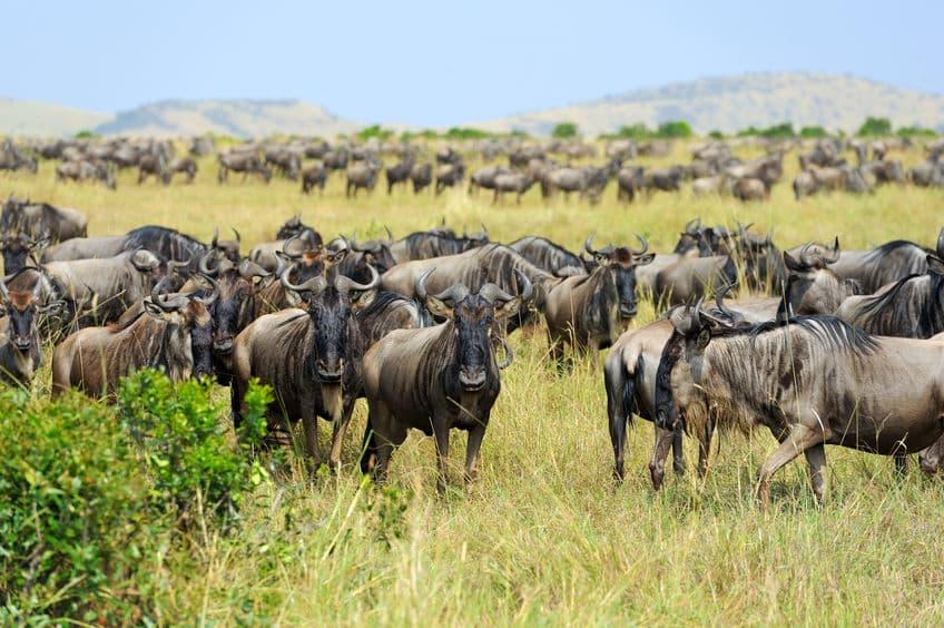 masai mara gnous