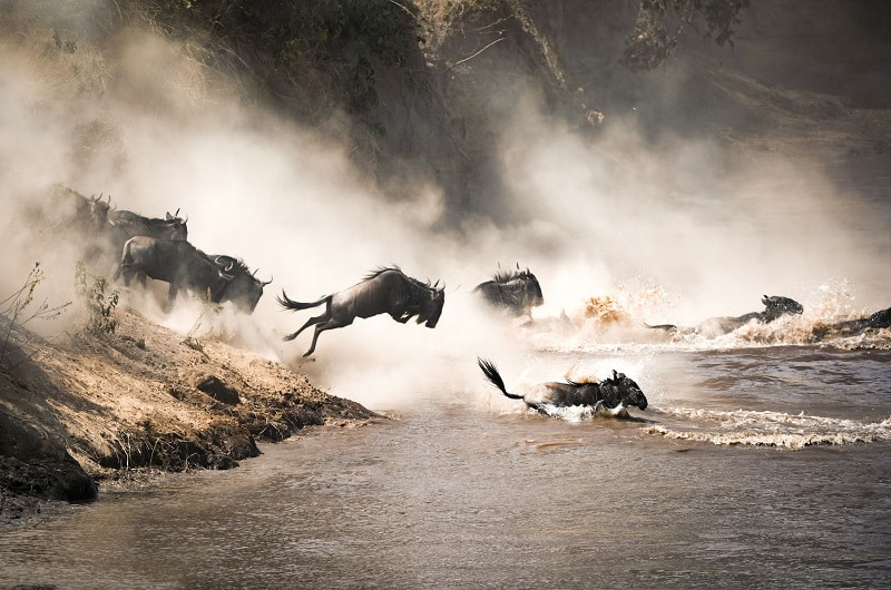 migration gnous masai mara