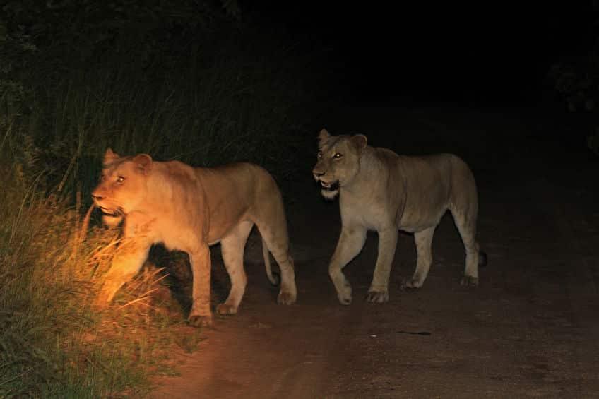 parc national kruger safari nuit
