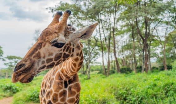 Centre des girafes à Nairobi