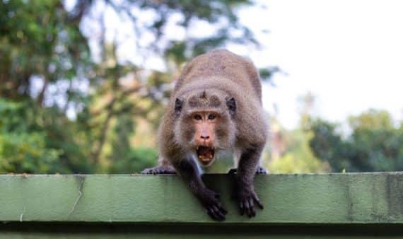 singe agressif asie