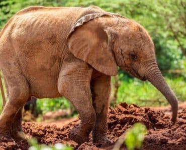 orphelinat éléphants sheldrick