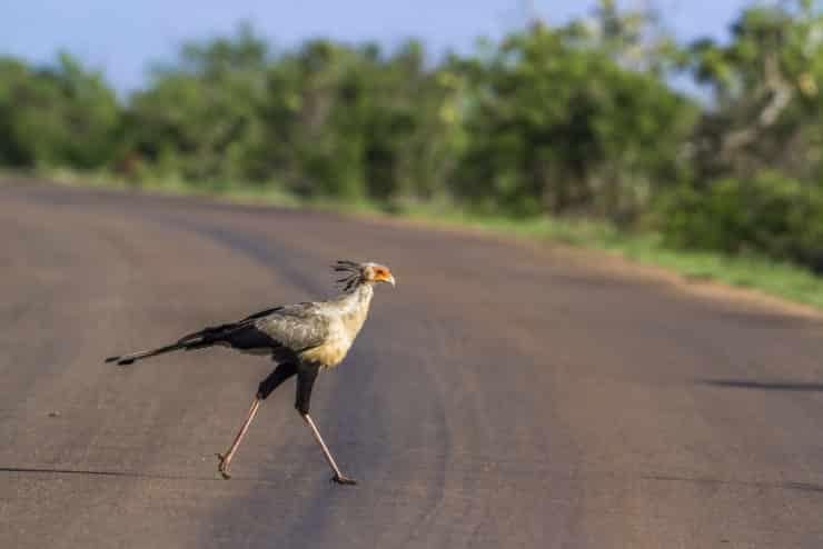 oiseau secrétaire parc kruger