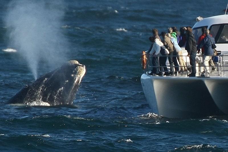 baleine hermanus