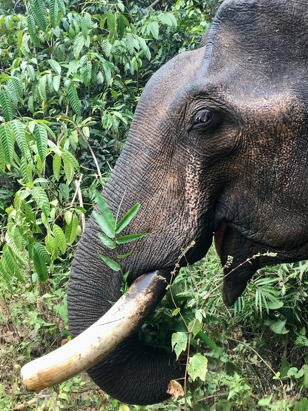 éléphant cambodge