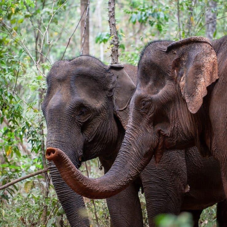 sanctuaire des éléphants au cambodge
