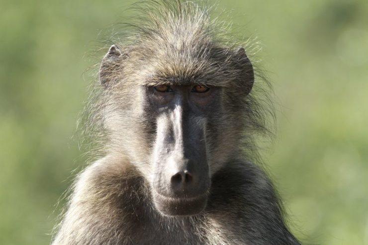 parc national kruger babouin