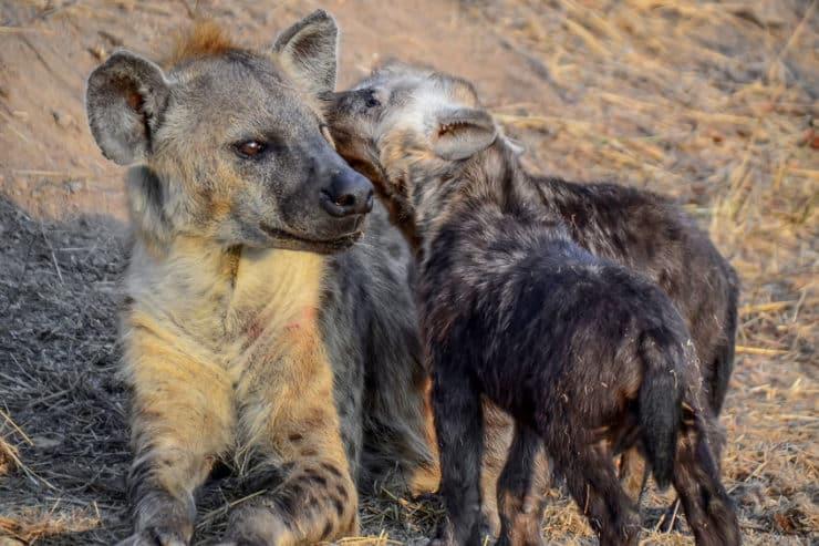 parc national kruger hyenes