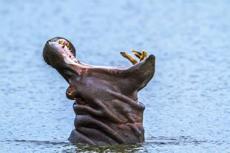 parc national kruger hippopotame