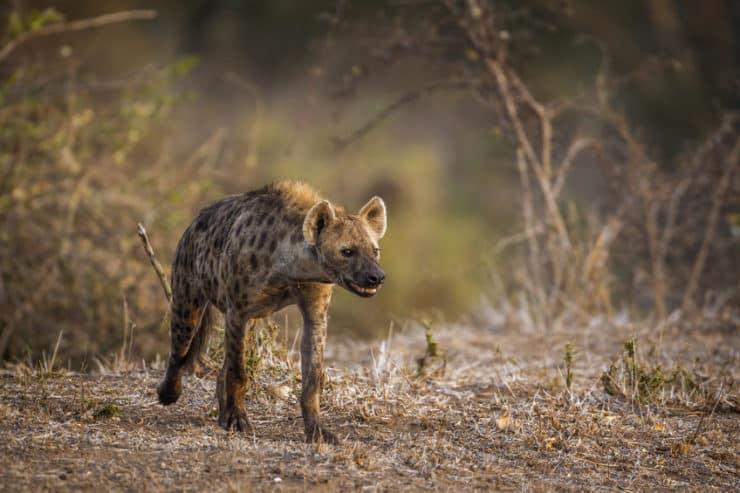 parc national kruger hyene