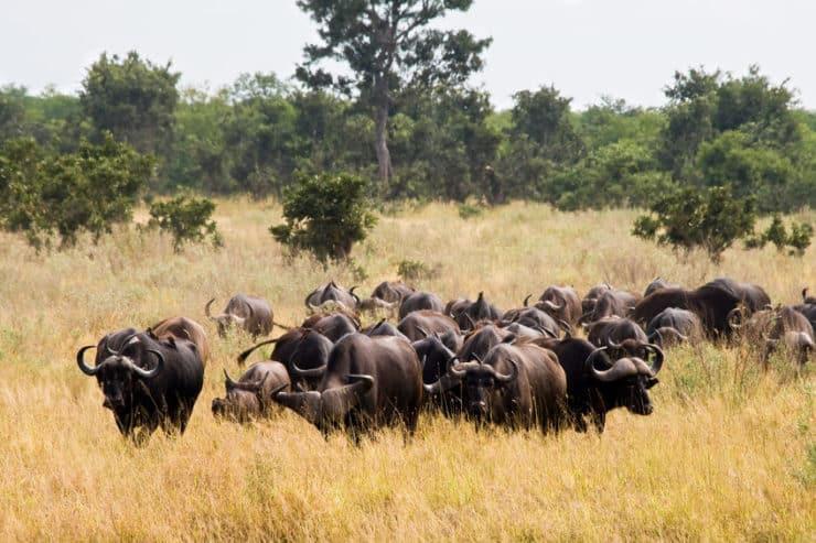 parc national kruger buffles