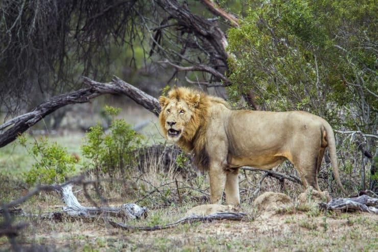 parc national kruger lion