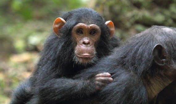 Parc national de Gombe