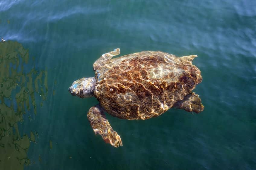 où voir les tortues à zakynthos