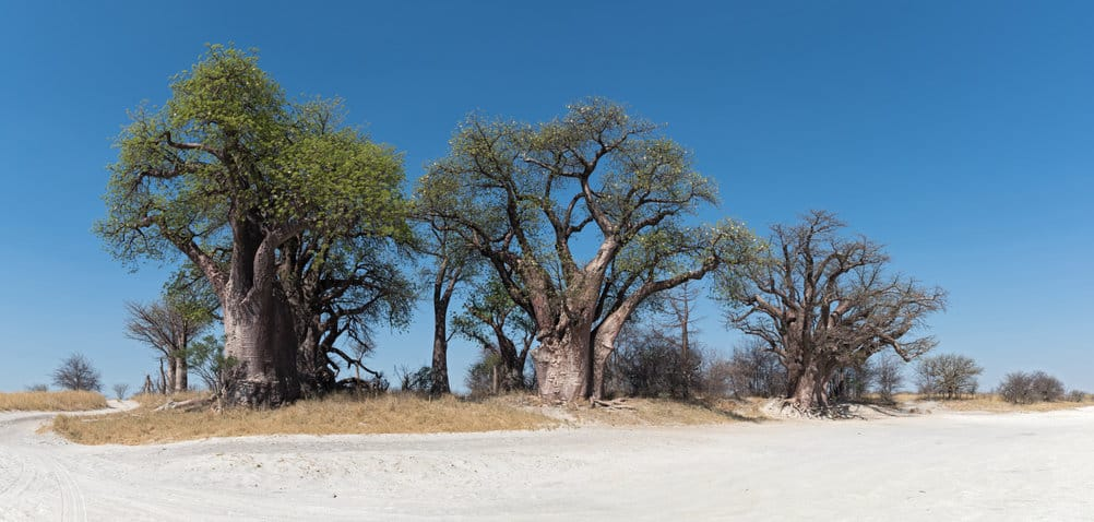 baobabs baines