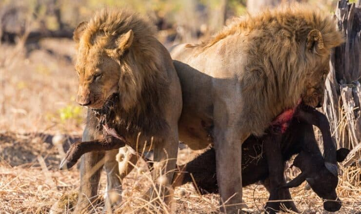 Linyanti au Botswana