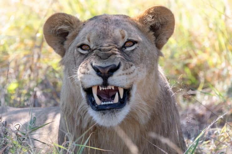 lion chobe