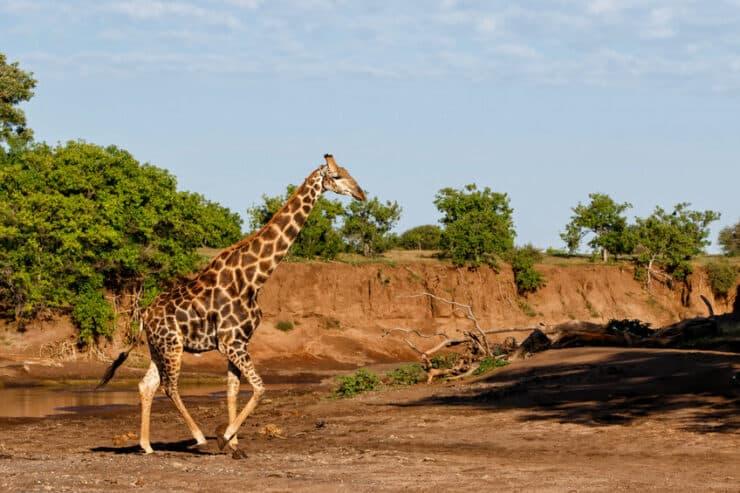 girafe mashatu