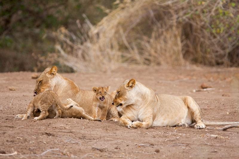 lions réserve de mashatu