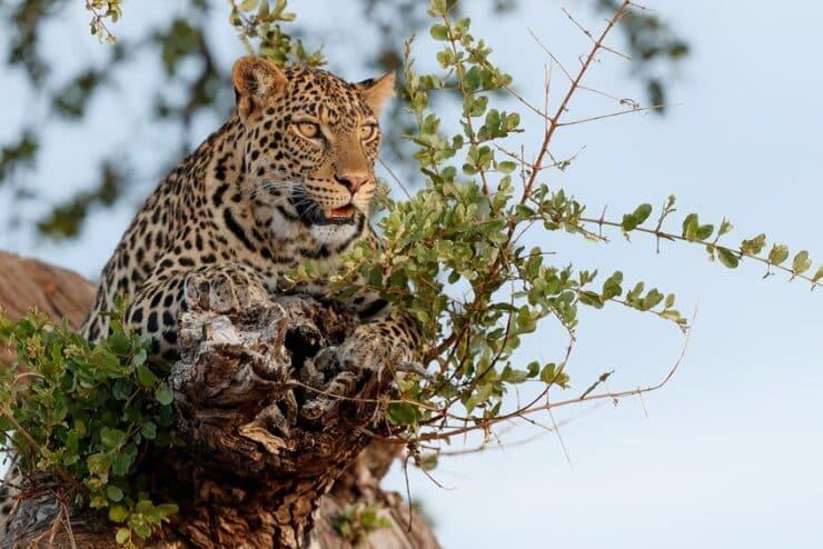 leopard mashatu