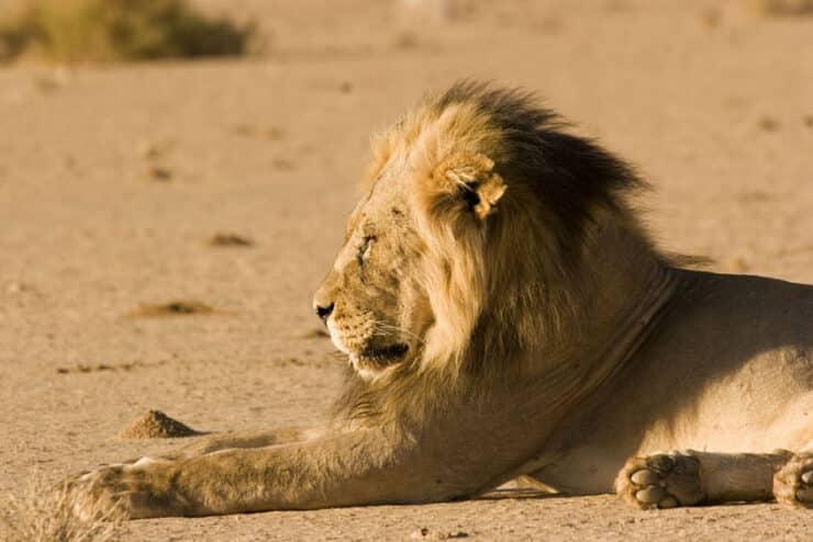 lion à crinière noire