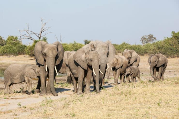 éléphants chobe