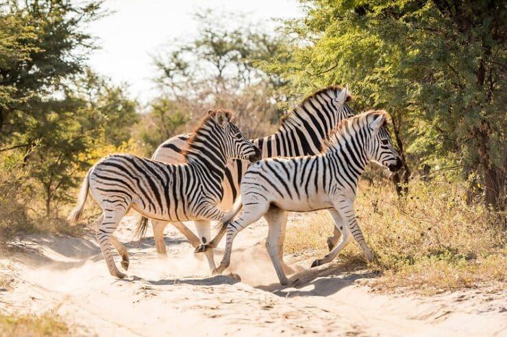zèbres botswana