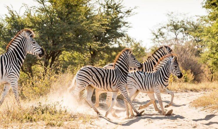 migration des zèbres au Botswana