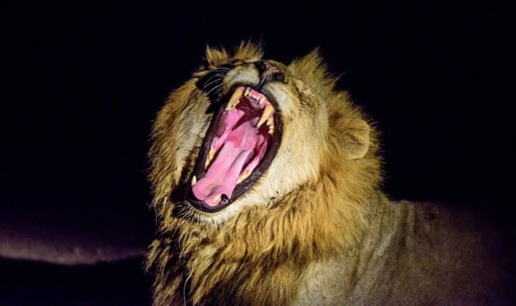 Safari nocturne