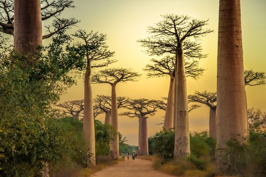 Morondova allée des baobabs