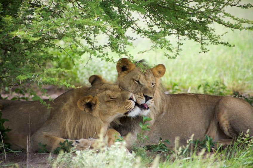 lions réserve de moremi