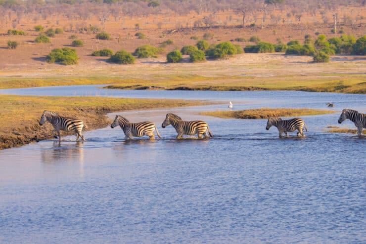 migration zèbres botswana