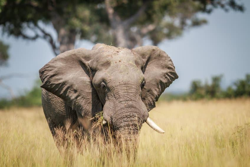 éléphant chobe