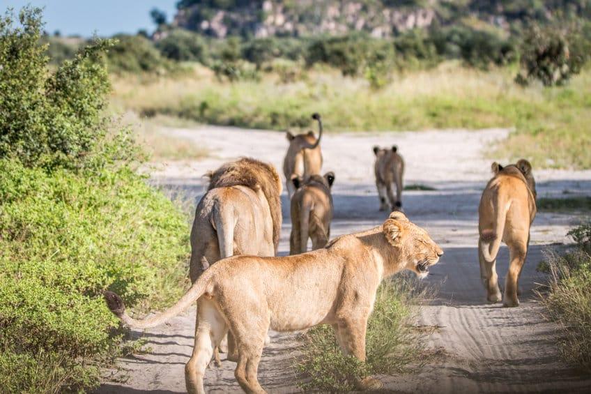 lions parc de chobe