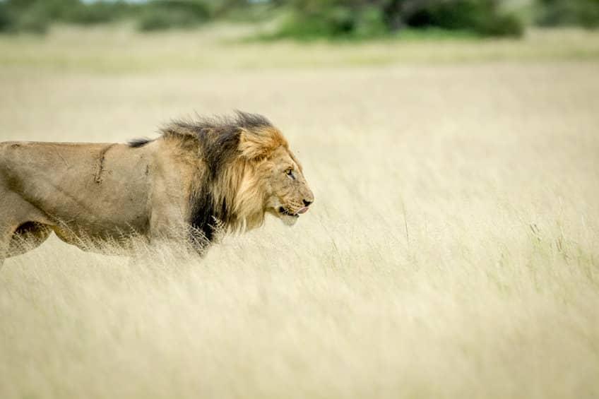 lion à crinière noire Kalahari