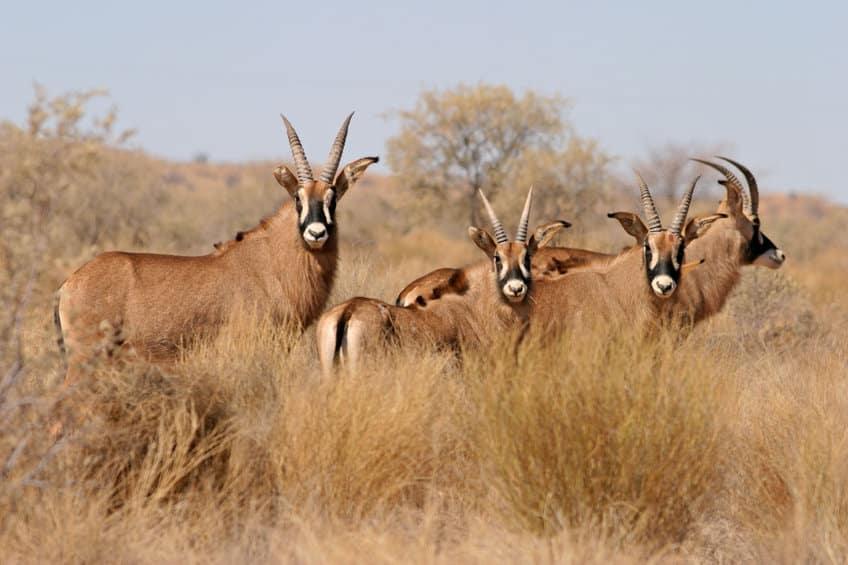 antilopes rouannes