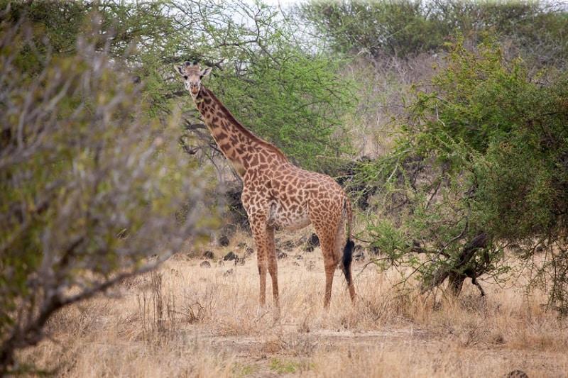 girafe parc arusha