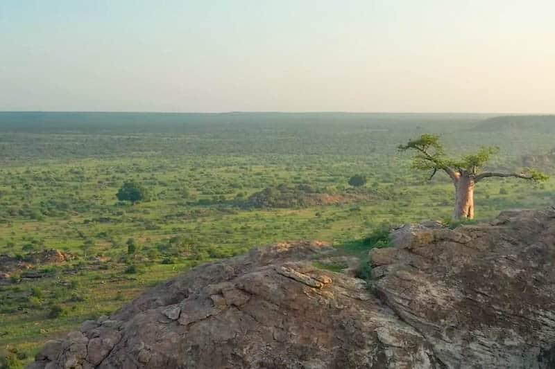 baobab mashatu