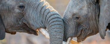 Où voir des éléphants en Afrique