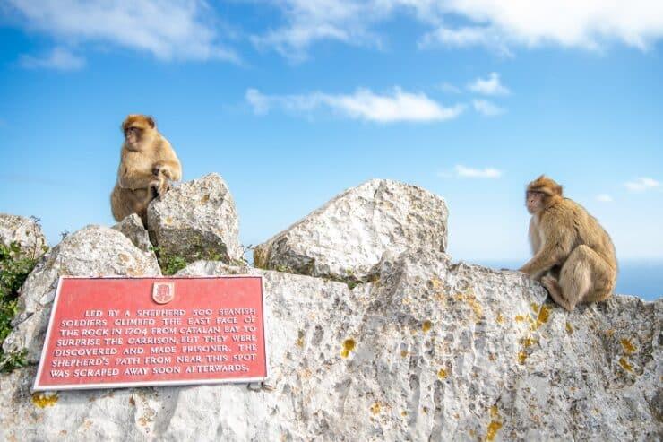 Gibraltar singes