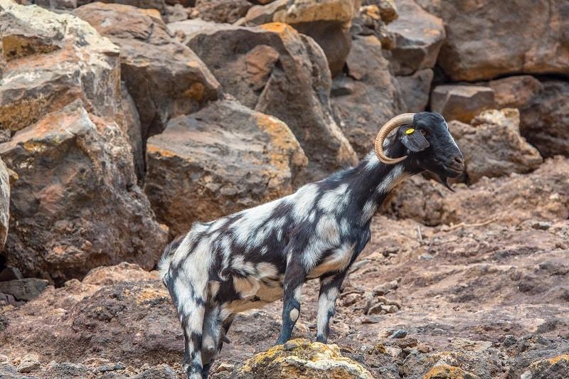 chèvre fuerteventua