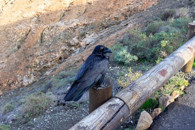 corbeau fuerteventura