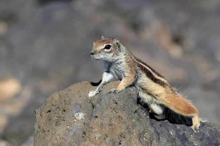 écureuil de barbarie fuerteventura